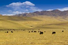 在西藏雪山的母牛 库存图片