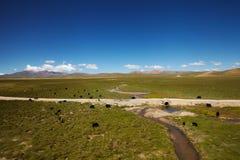 在西藏风景的牦牛 免版税库存照片