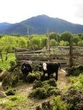 在西藏高地的两头牛 库存照片
