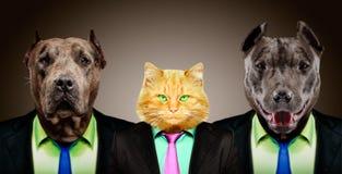 在西装的两种美洲叭喇守卫的猫 图库摄影
