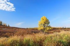 在西西伯利亚的北部的落叶松属秋天在9月 免版税库存照片