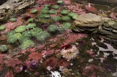 在西雅图水族馆的海葵 免版税库存图片