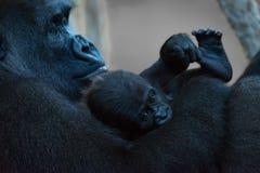 在观看的母亲的胳膊的小大猩猩 免版税库存图片