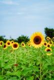 在观音工业区区,桃园,在夏季期间的台湾的向日葵领域 图库摄影