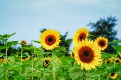 在观音工业区区,桃园,在夏季期间的台湾的向日葵领域 库存照片