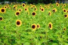 在观音工业区区,桃园,在夏季期间的台湾的向日葵领域 免版税库存图片
