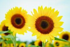 在观音工业区区,桃园,在夏季期间的台湾的向日葵领域 免版税图库摄影