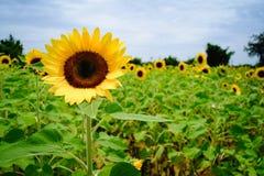 在观音工业区区,桃园,在夏季期间的台湾的向日葵领域 库存图片