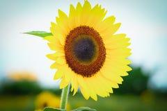 在观音工业区区,桃园,在夏季期间的台湾的向日葵领域 免版税库存照片
