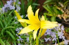在规则式园林花的黄色百合 库存照片