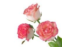 在角落的三朵橙红色玫瑰色花 免版税库存图片