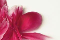 在角落的桃红色牡丹瓣 库存图片