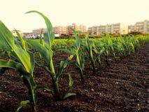 在角落的玉米 免版税库存照片