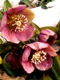 在解冻II期间的桃红色花 免版税库存图片