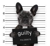 在警察局的面部照片狗 免版税库存照片