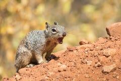 在警报的灰鼠在大峡谷 图库摄影