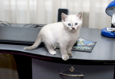 在计算机桌上的小猫 图库摄影