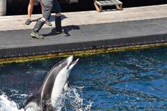 在训练的一只海豚 BC温哥华加拿大 免版税库存图片