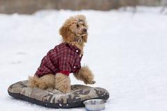 在训练的红色长卷毛狗在冬天 库存图片