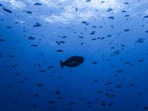 在许多小鱼之间的大鱼 免版税库存图片