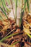 在许多橙色和棕色叶子和gree中的一个大桦树牛肝菌 库存照片