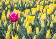 在许多黄色郁金香中的唯一桃红色郁金香 免版税库存照片