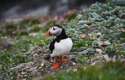 在设得兰群岛的海鹦鸟 库存图片