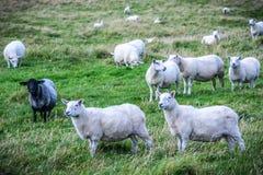 在设得兰群岛的舍德兰群岛绵羊 库存图片