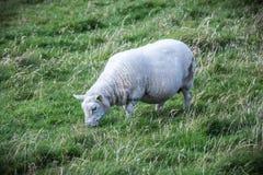 在设得兰群岛的舍德兰群岛绵羊 免版税库存照片
