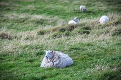 在设得兰群岛的舍德兰群岛绵羊 库存照片
