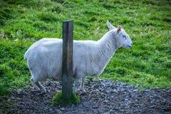 在设得兰群岛的舍德兰群岛绵羊 免版税图库摄影