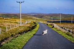 在设得兰群岛的舍德兰群岛绵羊 免版税库存图片