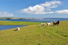 在设得兰群岛的绵羊 免版税库存图片
