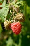在词根的成熟和绿色唯一莓 库存图片