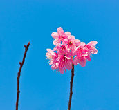 在词根的桃红色花在蓝天 免版税图库摄影