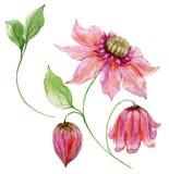 在词根的美丽的桃红色铁线莲属 花卉集合花,在上升的枝杈,蒴的叶子 背景查出的白色 库存例证