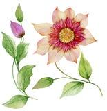 在词根的美丽的铁线莲属 花卉集合花,在上升的枝杈,蒴的叶子 背景查出的白色 向量例证