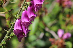 在词根的紫色毛地黄属植物 免版税库存图片