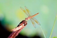 在词根的蜻蜓 库存图片