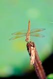在词根的蜻蜓 免版税图库摄影