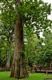 在词的最大的柚木树,最大的柚木树国家公园,程逸,泰国, 库存照片