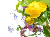 在诗句关闭的黄色金莲花花 免版税库存照片