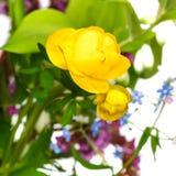 在诗句的新鲜的黄色金莲花花 免版税库存图片