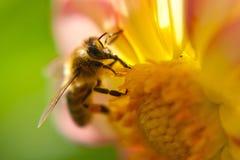 在详细花的一只蜂 免版税库存照片