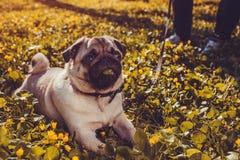 在说谎在早晨和嚼草的黄色花中的春天森林愉快的小狗的妇女走的哈巴狗狗 免版税图库摄影