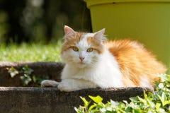 在说谎的一只俏丽的猫 库存照片