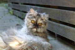 在说谎的一只波斯猫 免版税库存照片