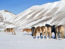在诺尔恰,翁布里亚Castelluccio多雪的高原的小马, 库存图片