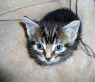 在调查照相机的软的毯子的微小的小猫 免版税库存图片