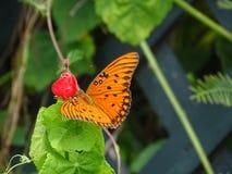 在调查的一朵红色花的橙色蝴蝶着陆 免版税库存照片